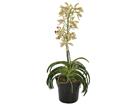 Teko-orkidea ruukussa SH-79336