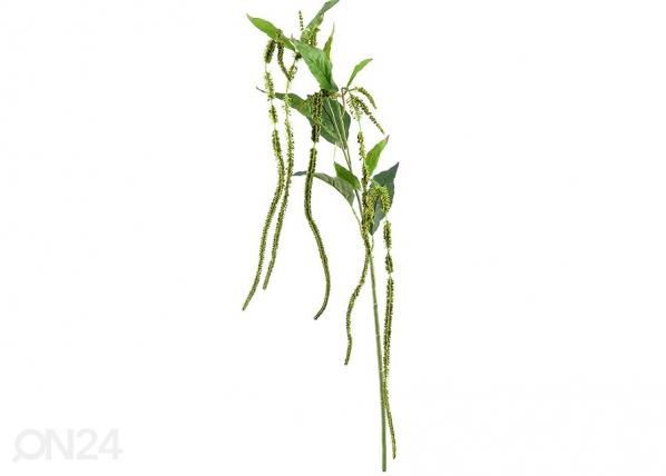 Celosia, 6 kpl DA-36424